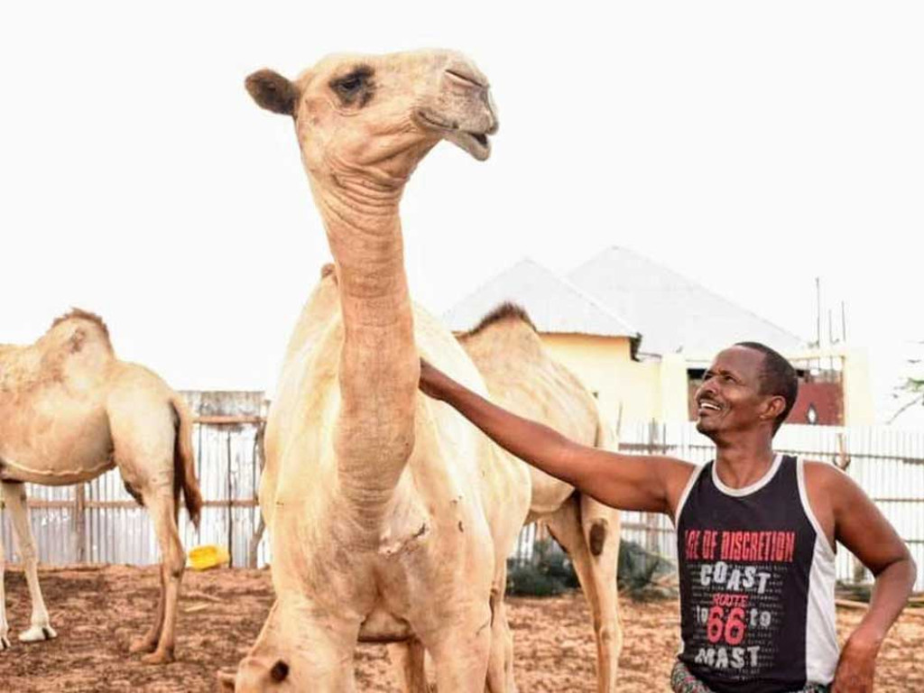 Camillo the Camel says: 'Invest in Mogadishu Camel milk production for as little as $1,500'